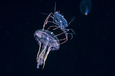 Phyllosoma larva of Spiny lobster (Palinurus sp) riding a Purple jellyfish (Pelagia noctiluca), at night in surface waters of the deep ocean off Kailua Kona, Hawaii,  August. The larval crustacean use...