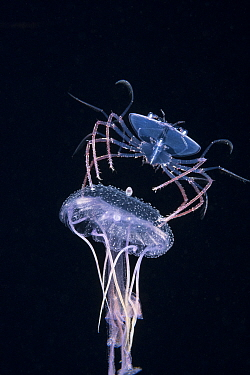 Phyllosoma larva of Spiny lobster (Palinurus sp.) riding a Purple jellyfish (Pelagia noctiluca), at night in surface waters of the deep ocean off Kailua Kona, Hawaii, USA. August. The larval crustacea...