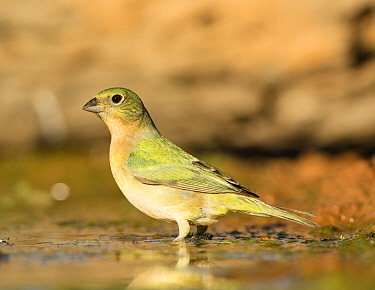 Painted bunting (Passerina ciris) at a watering hole, Texas, USA. June.