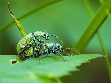 Weevils (Phyllobius arborator) mating, Upper Bavaria, Germany, May.