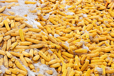 Maize drying, during drought which caused food shortage, Heilongjiang Province, northern China. March 2009