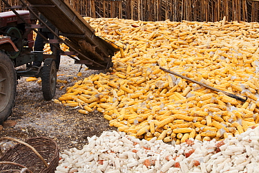 Maize drying, during drought which caused food shortage, Heilongjiang Province, northern China. March 2009.