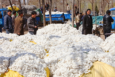 Harvested cotton bundles, this crop needs large quantities of water. This image was taken during a very severe drought causing a reduction in crop yields. Northern China. March 2009.