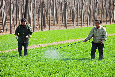 Women wearing no protection, spraying pesticide onto wheat crops near Hangang, northern China, March 2009