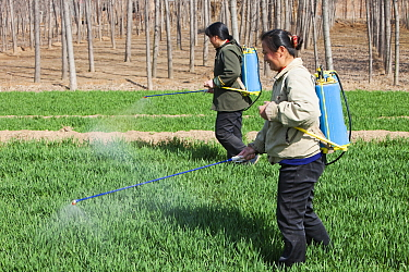 Women wearing no protection, spraying pesticide onto wheat crops near Hangang, northern China, March 2009.