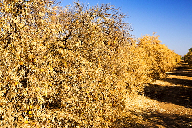 Dying Orange trees that no longer have water to irrigate them during severe drought, near Bakersfield, California, USA, October 2014