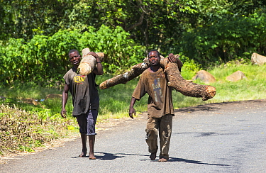 Men carrying timber illegally logged off the Zomba Plateau, Malawi. March 2015.