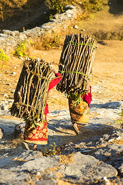 Women carrying heavy loads of fire wood, Annapurna, Himalayas, Nepal, December 2012.