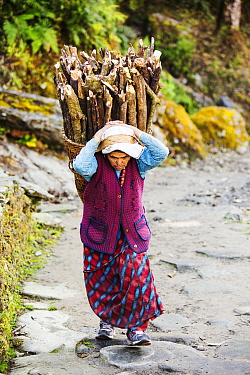 Elderly woman carrying heavy load of firewood, Annapurna, Himalayas, Nepal. January 2013.