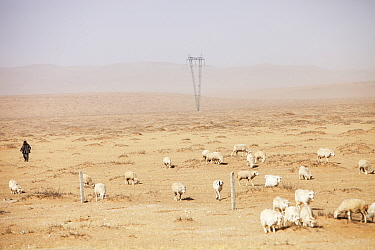 Shepherd following his flock of sheep in dry landscape during severe drought, Inner Mongolia, China, March 2009.
