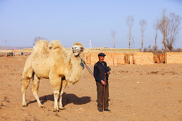 Mongolian man leads his camel across what was the former lake bed during severe drought, Inner Mongolia, China, March 2009.