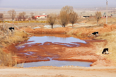 Village water supply runs dangerously low during severe drought, with cows grazing nearby, Shanxi Province, China. March 2009.