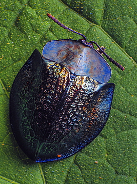 Top view of a Metallic tortoise beetle (Cassidinae, probably Cyrtonota in Piedade, Sao Paulo, Brazil. South-east Atlantic forest.