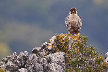 European Lanner falcon (Falco biarmicus feldeggi) adult male perched on rock. Central Apennines, Italy, April.