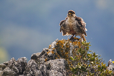 European Lanner falcon (Falco biarmicus feldeggi) adult male shaking itself on perch. Central Apennines, Italy, April.