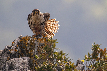 European Lanner falcon (Falco biarmicus feldeggi) adult male stretching. Central Apennines, Italy, April.
