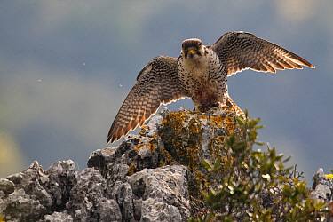 European Lanner falcon (Falco biarmicus feldeggi) adult male landing on rock. Endangered subspecies. Central Apennines, Italy, April.