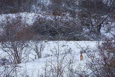 Italian hare (Lepus corsicanus) in snowy landscape. Central Apennines, Abruzzo, Italy, March.