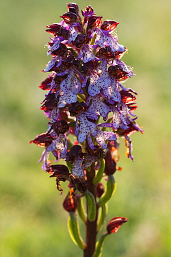 Lady orchid (Orchis purpurea) flower spike. Abruzzo, Central Apennines, Italy, May.