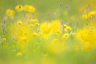 Globeflowers (Trollius europaeus) in wet meadow. Abruzzo, Central Apennines, Italy, May.