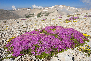 Cushion of Moss campion (Silene acaulis) on Majella's altitude plateau, with Mount Amaro (2793m) in the distance, Majella's highest peak. Abruzzo, Central Apennines, Italy, July.