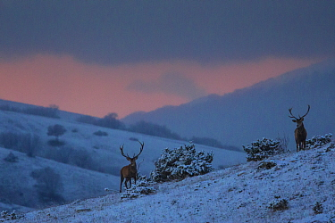 Red deer (Cervus elaphus) stags at sunset. Central Apennines, Abruzzo, Italy.