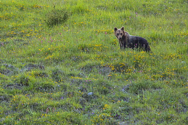 Apennine / Marsican brown bear (Ursus arctos marsicanus) in meadow, endemic subspecies, Critically Endangered. Central Apennines, Abruzzo, Italy, September.