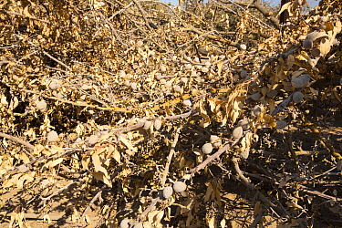 Almond groves being chopped down as there is no longer water available to irrigate them, in Wasco, California, USA, September 2014.