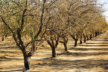 Dead and dying Almond trees in Almond groves in Wasco in the Central Valley of California after the irrigation water ran out following the four year long drought in the Western USA. 80% of the world's...