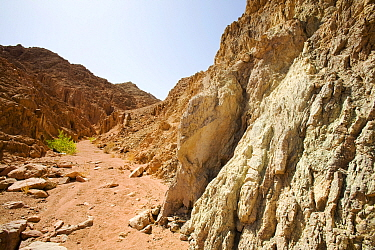 Path through mountains of the Sinai desert with drought resistant wild fig (Ficus) near Dahab in Egypt.