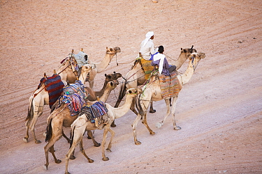 Bedouins with their camels in the Sinai Desert near Dahab, Egypt, October 2008.