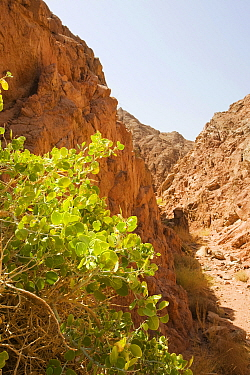 Drought resistant wild fig (Ficus) growing in Sinai desert, Dahab in Egypt.