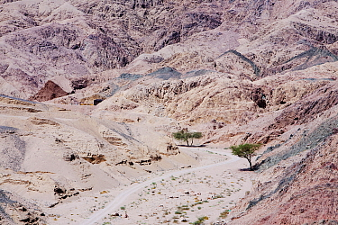 Drought resistant tree in the mountains of the Sinai desert near Dahab,  Egypt. October 2008.