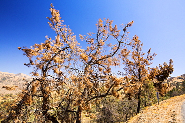 Pines trees killed by the four year long Californian drought in Tehachapi Pass, California, USA. September 2014.