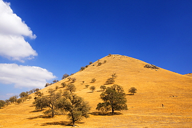 Drought killed trees near Tehachapi Pass, during California's four year long drought, USA. September 2014.