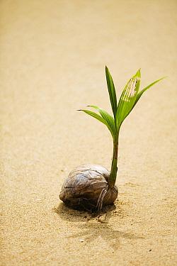 Coconut (Cocos nucifera) sprouting on beach, Fiji.