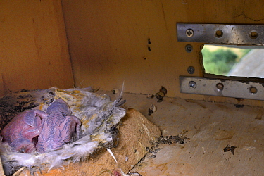 Two recently hatched  Common swift chicks (Apus apus) in a nest box in a church belfry, inspected during a ringing study, Worlington, Suffolk, UK, July.