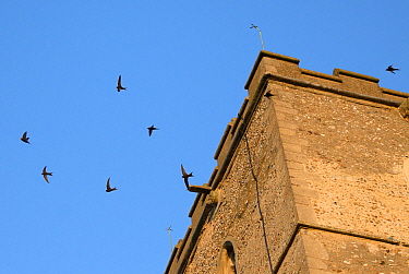Screaming party of Common swifts (Apus apus) flying around a church bell tower at dusk, where a large colony breeds in nestboxes behind the window louvres, All Saints Church, Worlington, Suffolk, UK,...