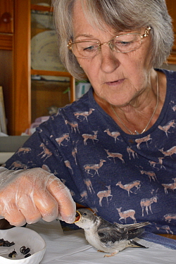 Judith Wakelam hand-feeding an orphaned House martin chick (Delichon urbicum) with insect food in her home, Worlington, Suffolk, UK, July. Model released.