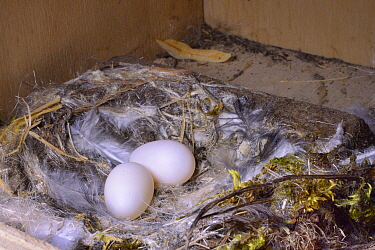 Two Common swift eggs (Apus apus) in a nest box in a church belfry, inspected during a ringing study, Worlington, Suffolk, UK, July.