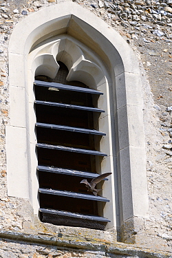 Common swift (Apus apus) flying to its nest in a Swift nest box in the belfry of All Saints Church, Worlington, Suffolk, UK, July.