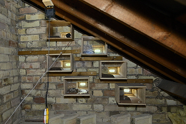Six nest boxes for Common swifts (Apus apus) in a roof space with swift brick entrance holes and perspex backs so nesting birds can be monitored by a cctv camera and a call playback system, with one n...