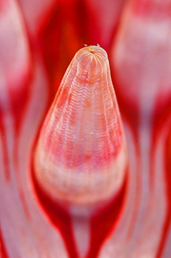 Detail of the tentacle of a Dahlia anemone (Urticina felina), Loch Carron, Ross and Cromarty, Scotland, UK, April