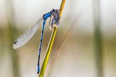 Common blue damselfly (Enallagma cyathigerum)  with  small moth prey, Hondenven, Tubbergen, the Netherlands, July.
