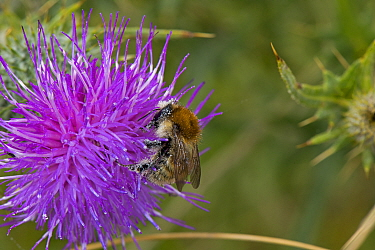 Brown Banded Carder Bee (Bombus humilis) on Spear Thistle (Cirsium vulgare), Worcestershire, England, UK, July.
