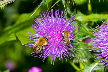 Common Carder Bees (Bombus pascuorum) on Spear Thistle (Cirsium vulgare), Herefordshire Plateau, England, UK, July.