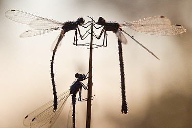 Emerald damselflies (Lestes sponsa) warming up in the first rays of the sun, Hatertse vennen, the Netherlands, June.