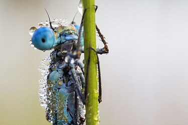 Common blue damselfly (Enallagma cyathigerum) covered in dew in morning and unable to fly,  Hondenven, Tubbergen, the Netherlands, August.