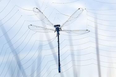 Common blue damselfy (Enallagma cyathigerum) trapped in a spider web, Hatertse Vennen, Netherlands, July.