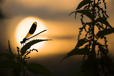 Banded demoiselle  (Calopteryx splendens) at sunrise,  resting in the Common nettle, Roosendaal, the Netherlands. July.